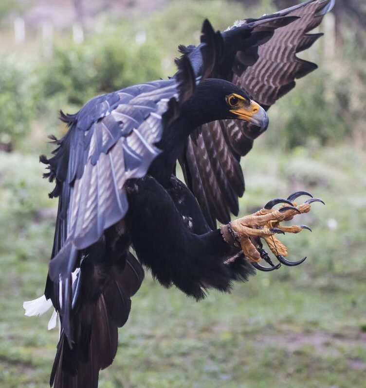 Raptor Rescue Plett Black Eagle Verreaux's in Flight Jo Howell Photography